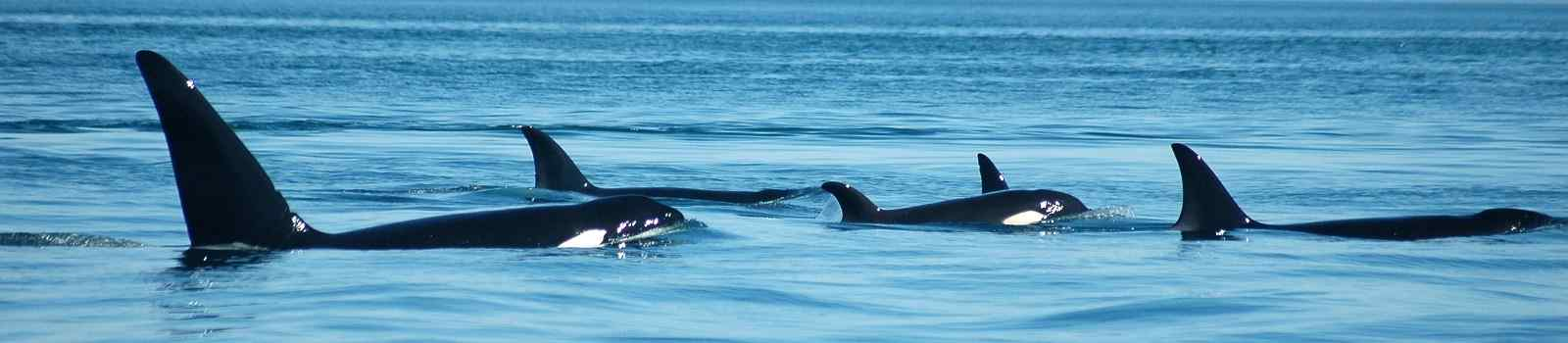 CAD-RM-CPC Kanada Vancouver Island A group of transient (marine mammal feeding) orcas surfaces together, with San Juan Island